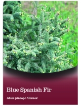 <h5>Blue Spanish Fir</h5><p>hang tag example</p>