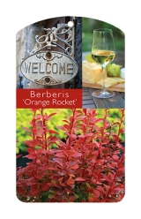 <h5>Orange Rocket Barberry</h5><p>Custom Berberis Orange Rocket Hang Tag</p>